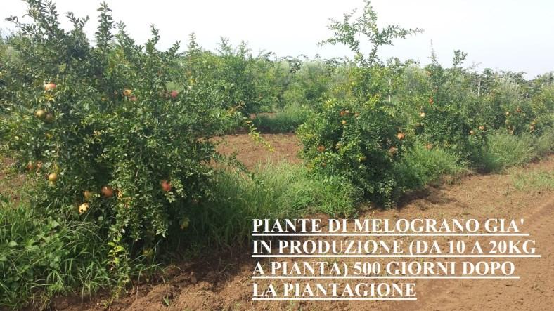 Piante di Melograno Melagrana a cespuglio, varietà Sifri senza seme