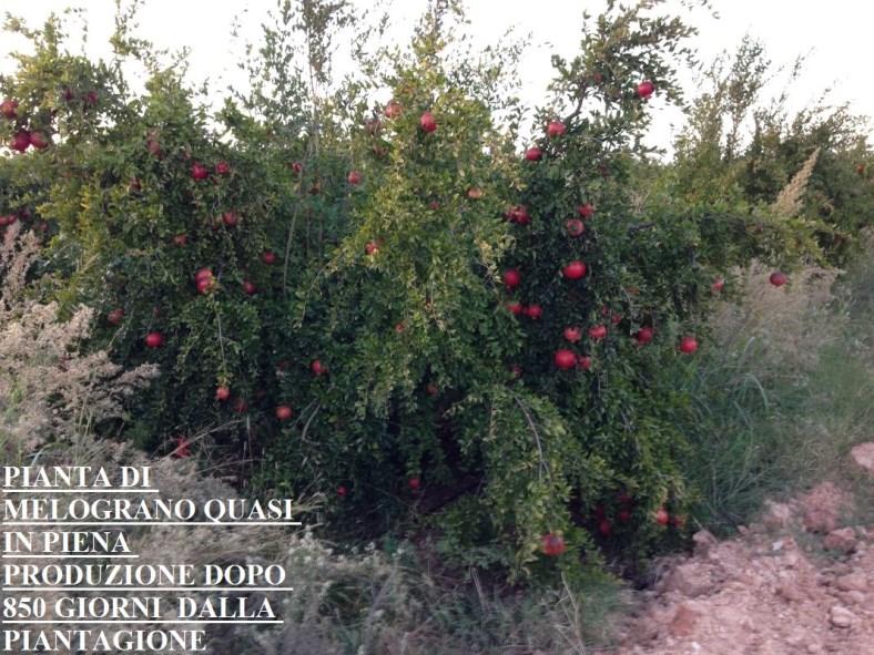 Piante di Melograno Melagrana a cespuglio, varietà Sifri senza seme, o per meglio dire con un seme erbaceo che si può tranquillamente ingoiare.