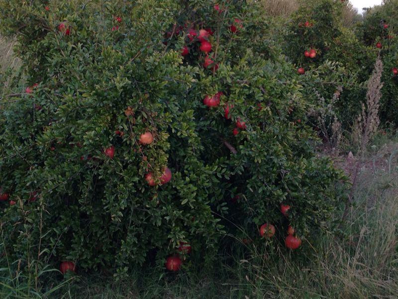 NOVITA' Pianta di Melograno varietà sifri senza Semi ,a 1095 giorni (3 ANNI ) dopo la piantagione.