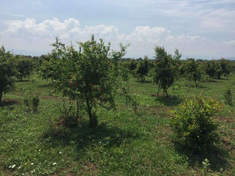 Piante di Melograno Melagrana a cespuglio, varietà Sifri senza semi