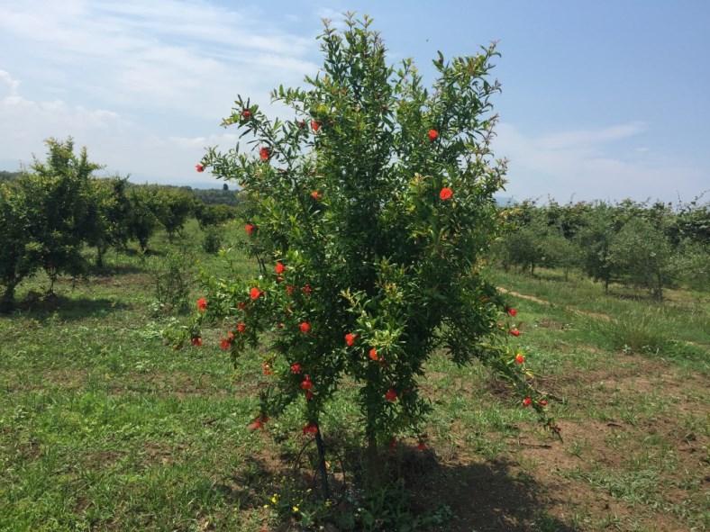 Melograno il frutto della medicina ,varietà Sifri senza seme erbaceo che si può tranquillamente ingoiare.