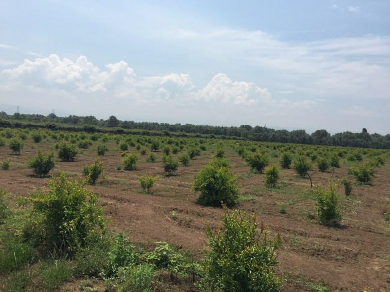 Impianto di Melograno sifri con seme morbido erbaceo