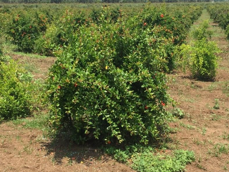 Vendita piante di melograno senza semi varietà sifri