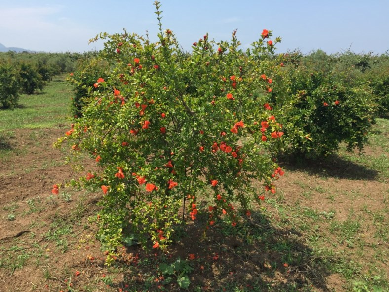 alberello di melograno a cespuglio varietà senza semi sifri