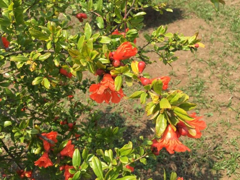 fioritura di melograno senza semi