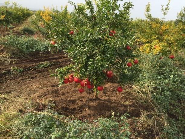 NOVITA' Pianta di Melograno senza Semi varietà sifri a 500 giorni dopo la piantagione ( 1 anno e tre mesi)