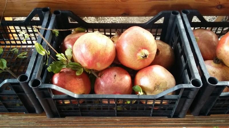 "Vendita Frutti di Melograni "" senza semi ""varietà Sifrì"