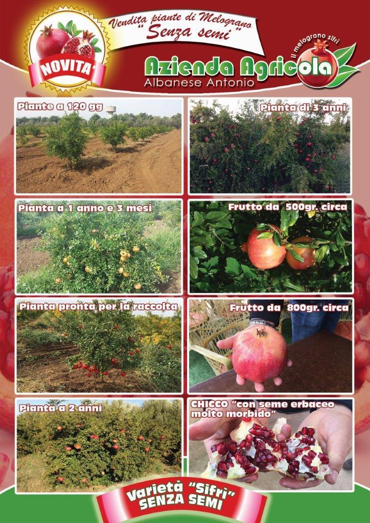 Piante di Melograno Melagrana a cespuglio, varietà Sifri senza seme, o per meglio dire con un seme erbaceo